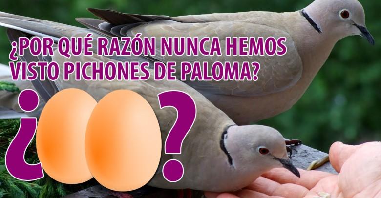 ¿Por qué razón nunca hemos visto una paloma recién nacida? ¡He aquí la respuesta!