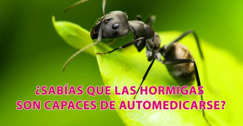 ¿Sabías que las hormigas son capaces de automedicarse?