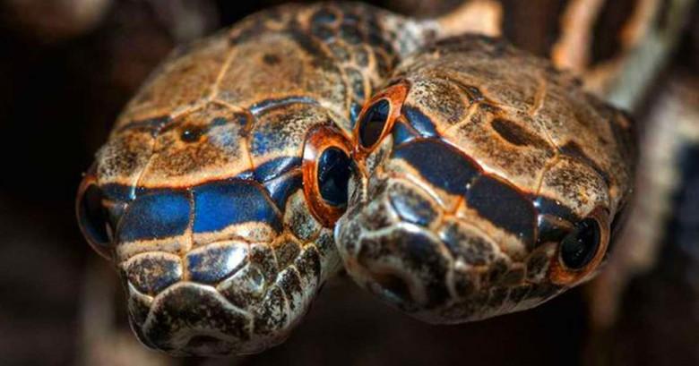 Mira las fotografías de esta extraña serpiente de 2 cabezas