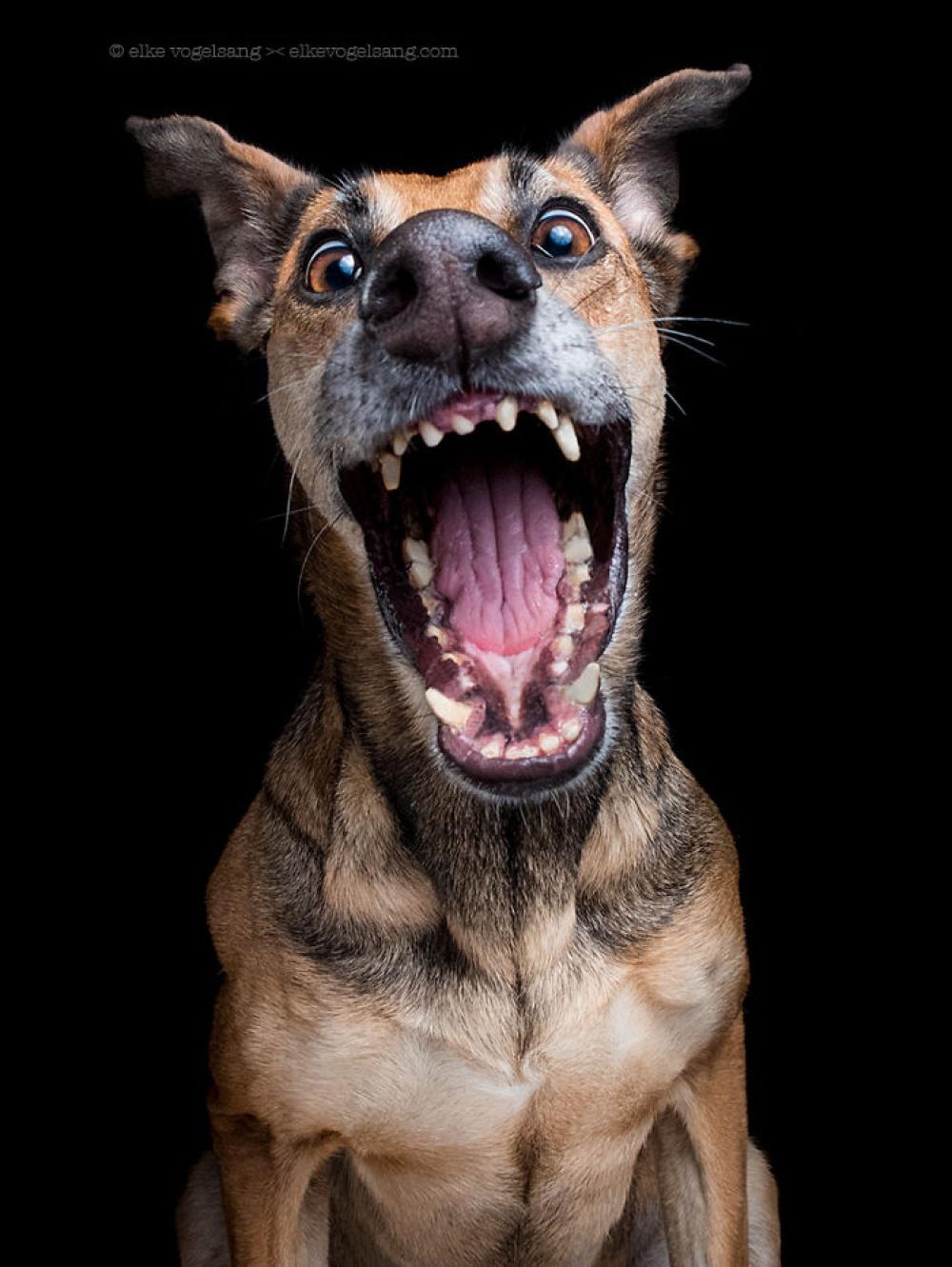 757905-1000-1453753130-expressive-dog-portraits-elke-vogelsang-3