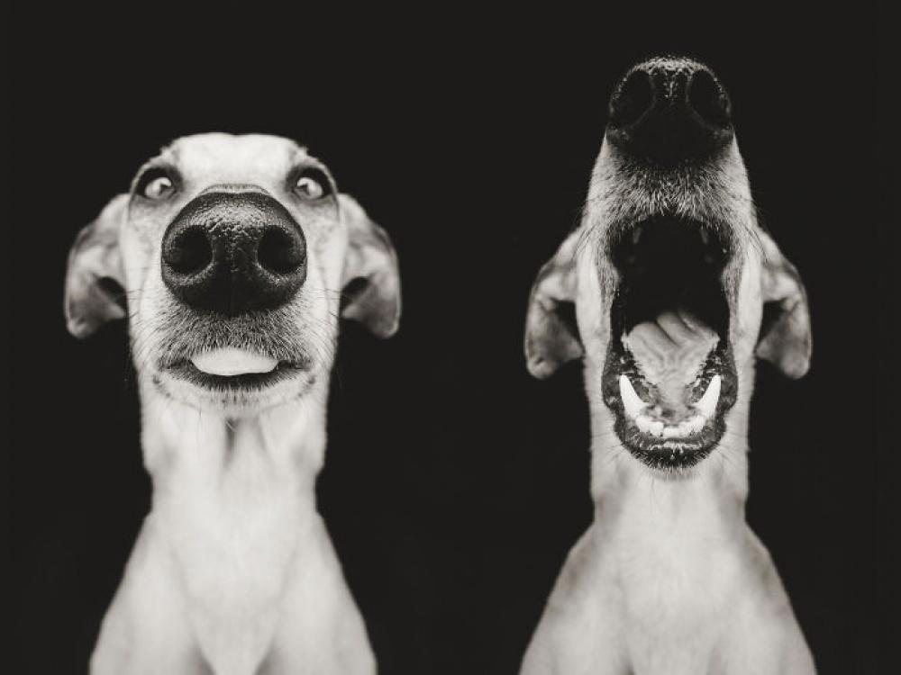 758155-1000-1453753130-expressive-dog-portraits-elke-vogelsang-18