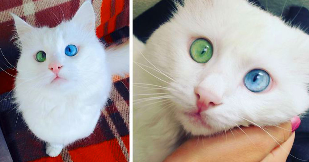 heterochromia-cat-cross-eyed-alos-fb__700-png